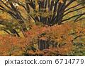 ใบไม้แห่ง Zelkowa 6714779
