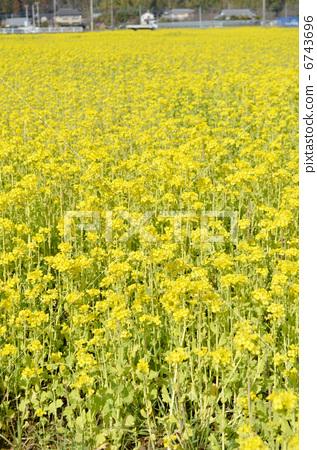 Rapeseed field 6743696