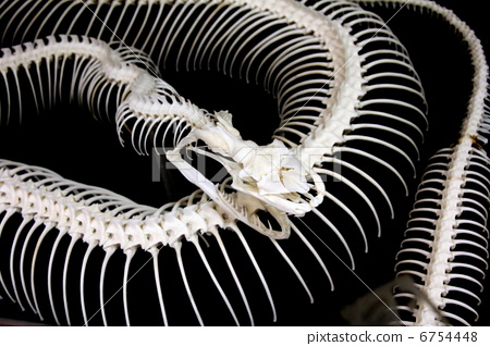 Python蛇骨骼標本 6754448