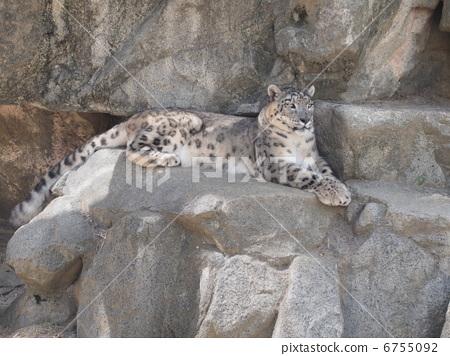 Snow leopard 6755092