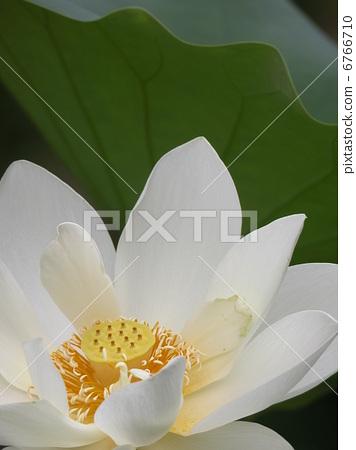White Lotus Flower 6766710