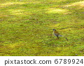 白腹鶇 冬候鳥 野生鳥類 6789924