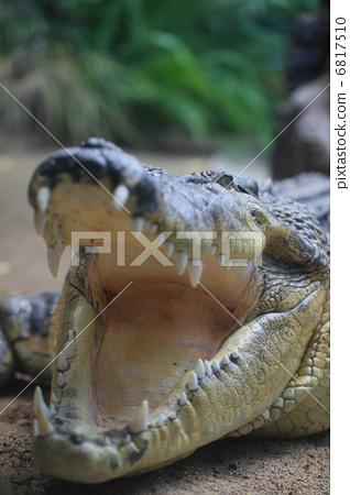 Powerful crocodile 6817510