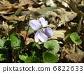 봄 들판에 피는 보라색 꽃 낚시 제비꽃 6822633