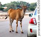 Deer in the Road 6825200