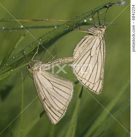 Two butterflies on a meadow 6842234