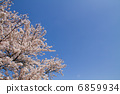 Cherry blossoms (Yoshino cherry tree) 6859934