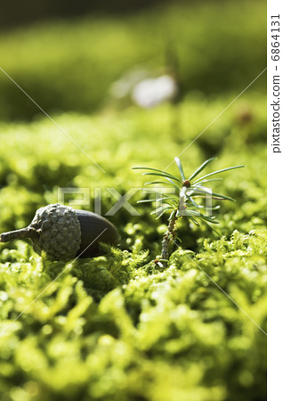 Acorn and larch seedlings 6864131