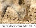 Wild boar 6887815