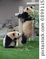 twins, panda, pandas 6899115