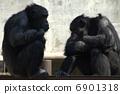 Chimpanzee 6901318