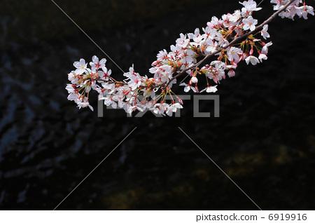 벚꽃 6919916