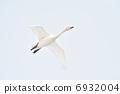 Flight of swan bean swans 6932004