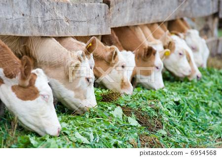 calves eating green rich fodder 6954568