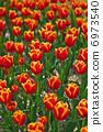 Tulip 6973540