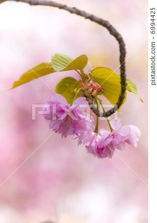 벚꽃 6994425