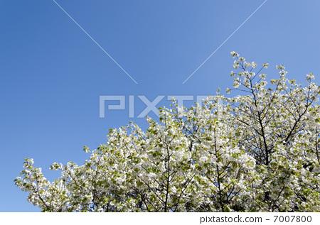 Cherry tree kotohira 7007800