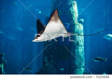 Manta ray floating underwater 7020068