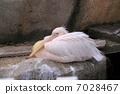 Momoiro Pelicans 7028467