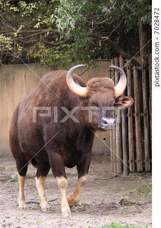 세계 최대의 야생 소 · 가을 7028472