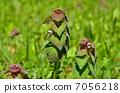 植物・ヒメオドリコソウ シソ科 7056218