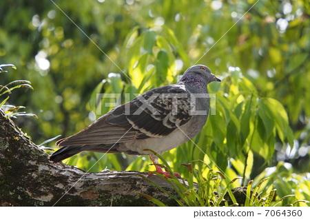 A pigeon on a tree 7064360