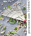 The fruit of a ginkgo that fell on the sidewalk 7094947