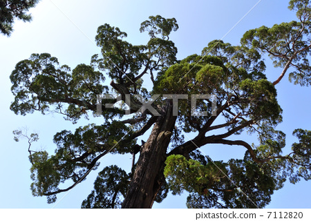 The Sacred tree of Sumiyoshi Taisei 7112820
