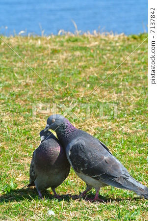 Happy face couple of pigeons 7137842