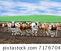 herd of beef cattle at farm 7176704