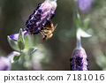Bees and lavender 7181016