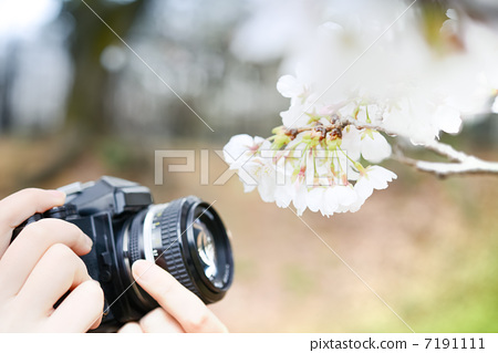 벚꽃을 촬영 7191111