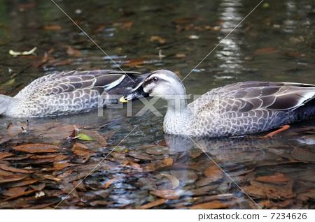 duck 7234626