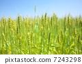 小麦的耳朵 7243298