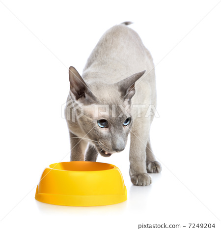 Angry Peterbald Cat Next Bowl 7249204
