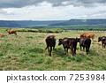 Cattle grazing 7253984