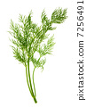 closeup of dill herb leaf isolated on white 7256491
