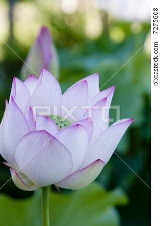 Lotus flower 7275608