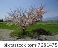 Cherry Blossoms 7281475