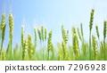 小麦的耳朵 7296928