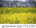 유채 꽃밭 7312287