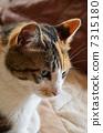 貓 7315180