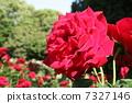 꽃, 장미, 빨강 7327146