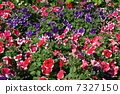 pansy, bloom, blossom 7327150
