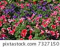 꽃, 팬지, 만개 7327150