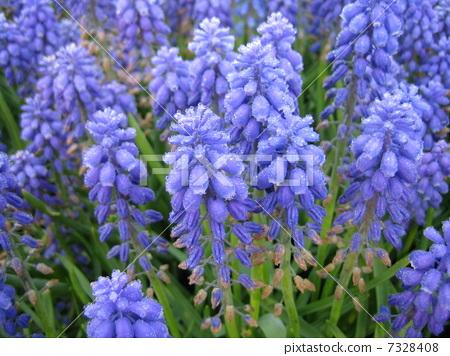 Hyacinth 7328408