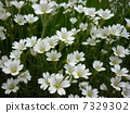 flowering plant, moss phlox, bloom 7329302