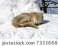 หมาป่าในหิมะ 7333668