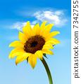 ดอกไม้บาน,ทานตะวัน,ฤดูร้อน 7342755