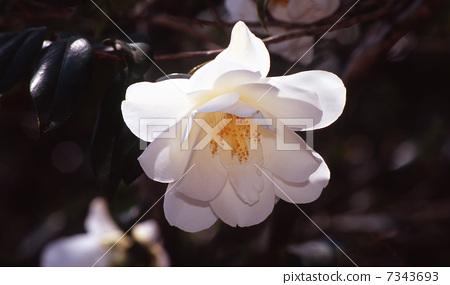 Camellia tree 7343693